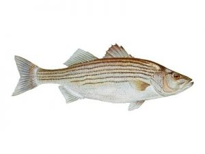 striped bass - rockfish